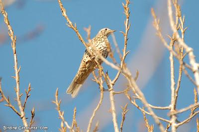 Griva (Turdus viscivorus)