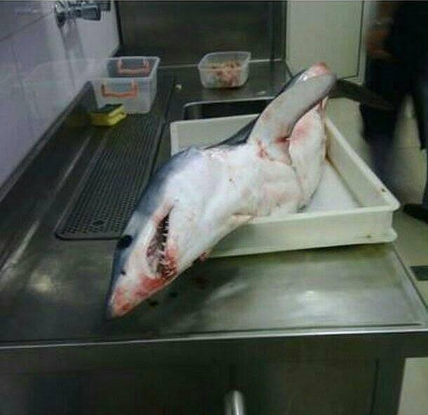 Blue shark in BUdva