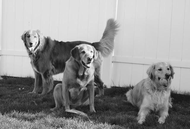 golden retriever dogs #blackandwhitesunday