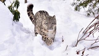 Snow Leopard spotted in Lippa-Asra wildlife sanctuary