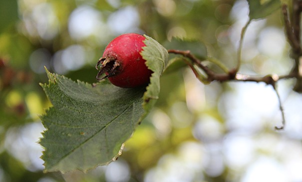 hagebutte-rot-herbst-092017