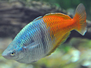 Boesemans Rainbowfish Pictures