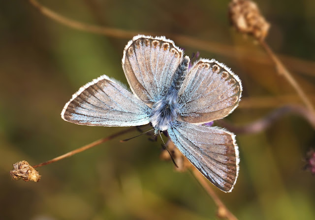 Chalkhill Blue - Wiltshire