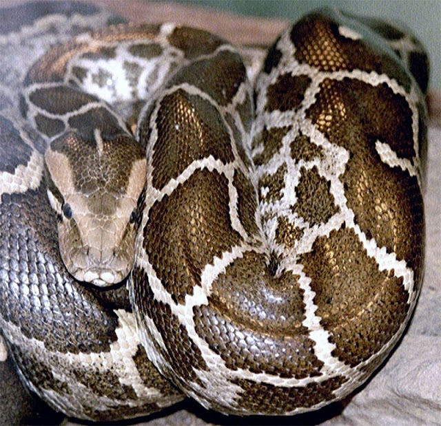 A python was found dead with swollen stomach. What they found inside was a surprise