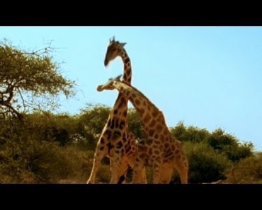 Combat entre deux girafes ! Vous n'en reviendrez pas!