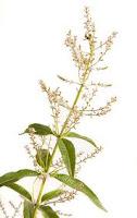 Plantas Medicinales de los Bosques Comestibles