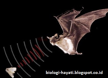 Sistem echolocation pada kelelawar
