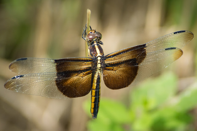 Widow Skimmer, John Bunker Sands Wetland Center