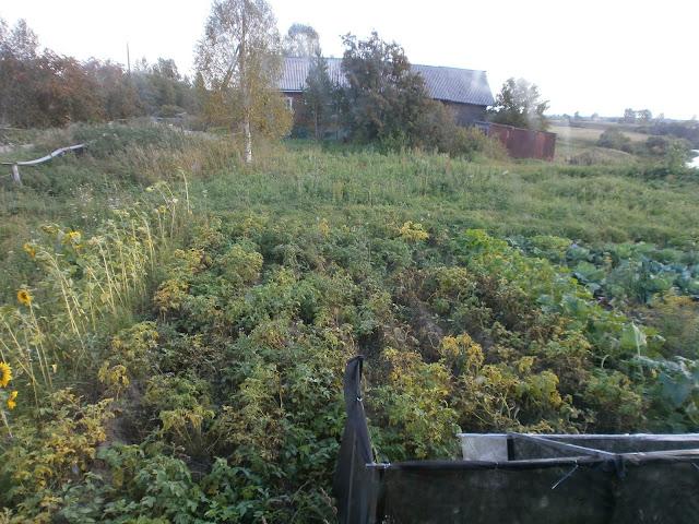 Огород в Мозолово, где растёт  картофель, лук, морковка, чеснок, сахарная свекла, подсолнечное масло