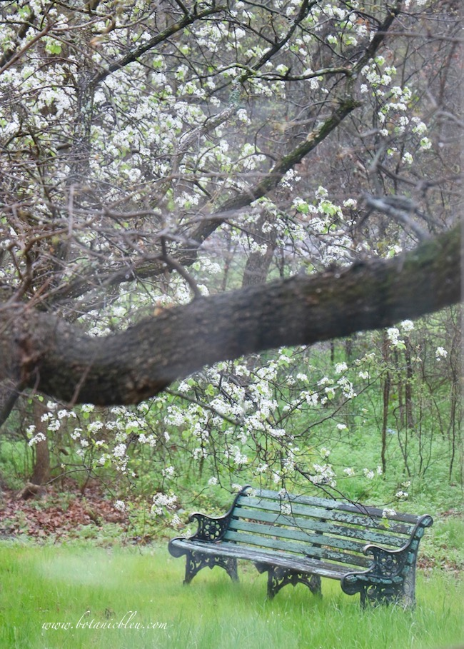 Spring green meadow with garden bench under a blooming pear tree