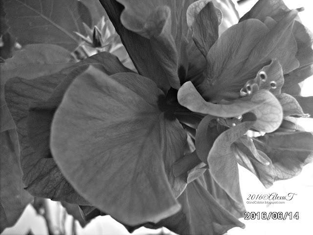 Hibiscus. Macro in B&W