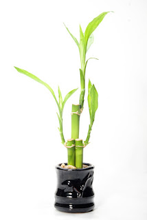 Good luck tree that is a bonsai bamboo is a great Diwali gift