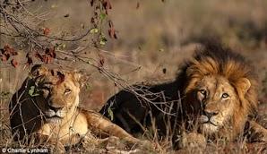 Pemburu Singa Dimakan Sampai Mati, Hanya Kepala yang Tersisa