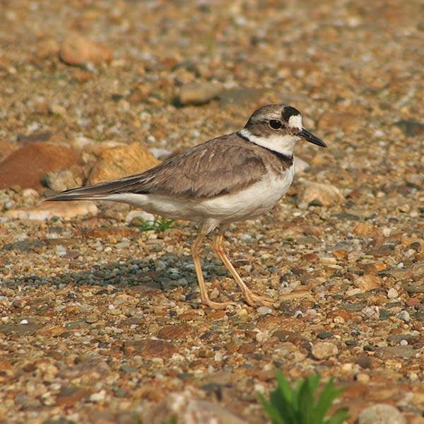 Long billed plover