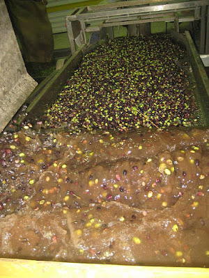 Pranje maslina pre cedjenja