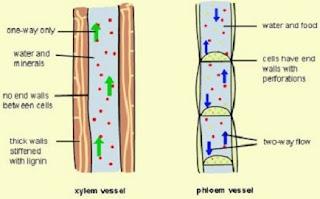 perbedaan xilem dan floem tabel,perbedaan xilem dan floem pada tumbuhan dikotil dan monokotil,perbedaan xilem dan floem pada dikotil dan monokotil,perbedaan xilem dan floem dalam bentuk tabel,