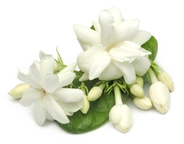 7 Manfaat & Khasiat Konsumsi Bunga Melati Untuk Kesehatan Tubuh