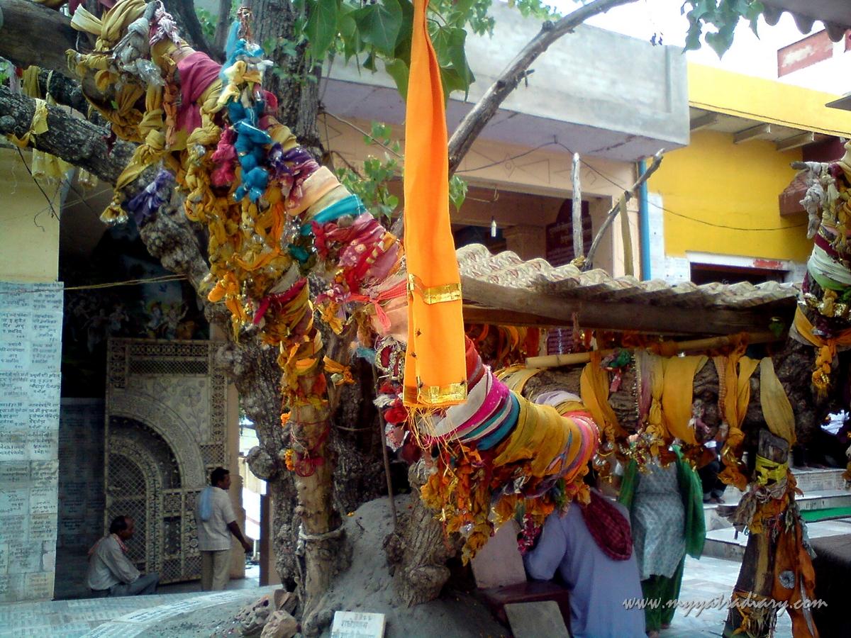 A kalpa vruksha at Chaurasi Khamba Temple compund,  Old Gokul Mahavan