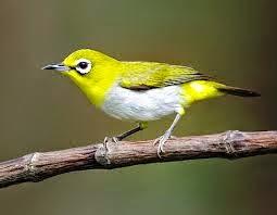 ... di kalangan para penggemar burung kicau sedikitnya ada tiga jenis Pleci  yang biasanya dipelihara ce427dfa4e