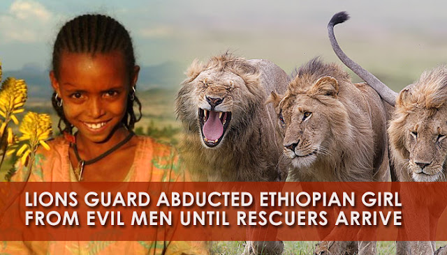 Pride Of Lions Save Kidnapped Ethiopian Girl | Petslady com
