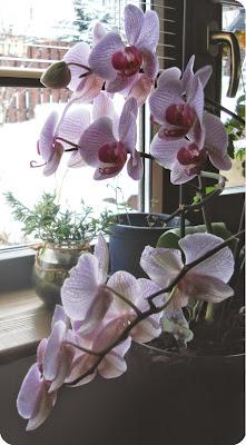 Floarea din pervaz