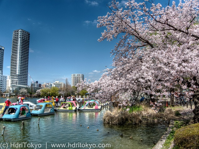 cherry blossoms by a large pond. many small boats on the pond. tall buildings in the background.