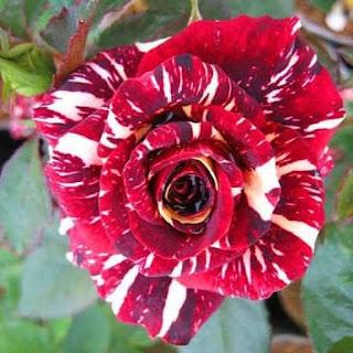 Bunga Mawar Rainbow Cantik