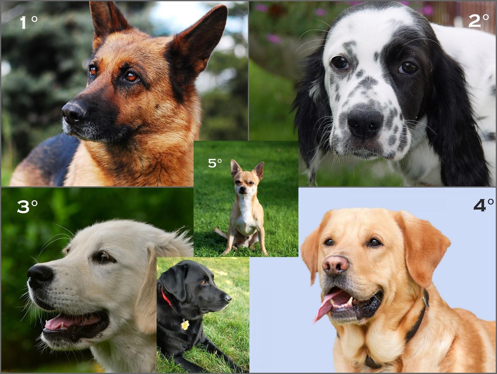 in italia ci sono sette milioni di cani ma quali sono le razze pi popolari. Black Bedroom Furniture Sets. Home Design Ideas