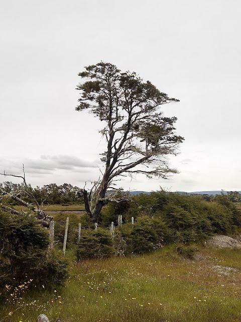 Árboles de Magallanes