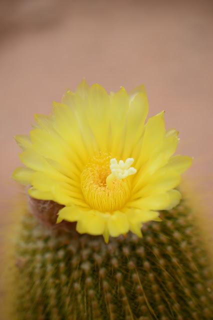 Notocactus leninghausii, cactus, desert garden, arizona garden, small sunny garden, cactus flower, amy myers