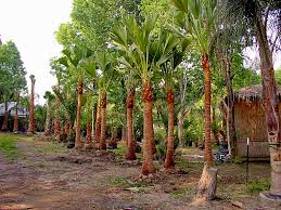 Full Grown Palm Tree Prices