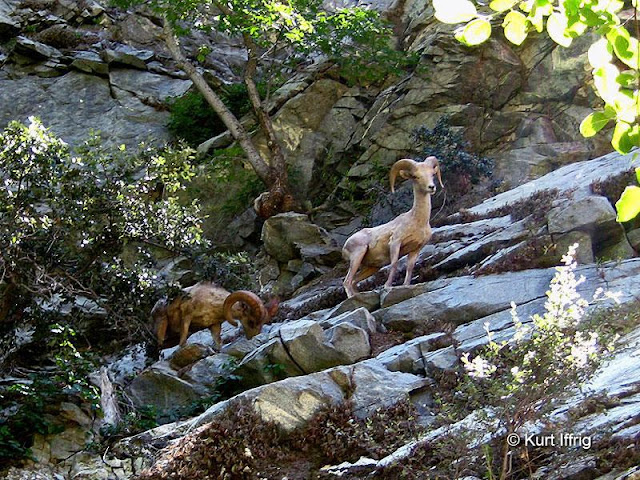 The East Fork is one of the few places left in California where you can still see large numbers of Bighorn Sheep.