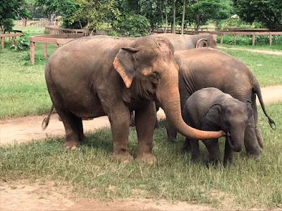 En el viaje solidario, se aprende a cuidar a elefantes que han sido víctimas de explotación