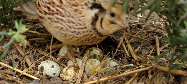 Coturnix quail and nest - organic quail