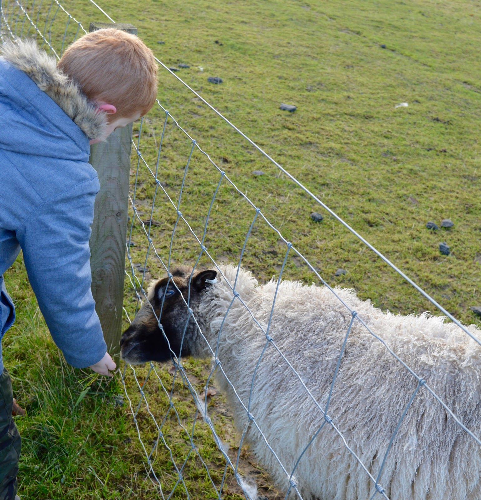 Northumberland County Zoo Reviews - feeding sheep