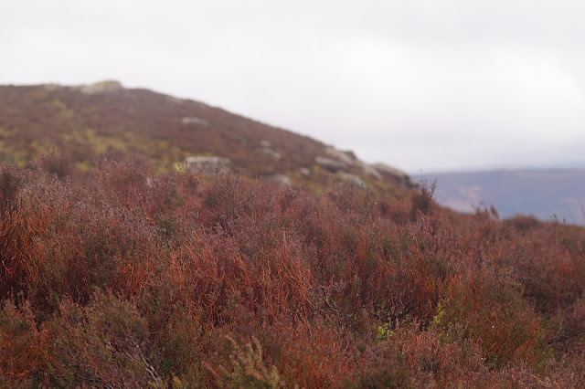 A grouse in the heather
