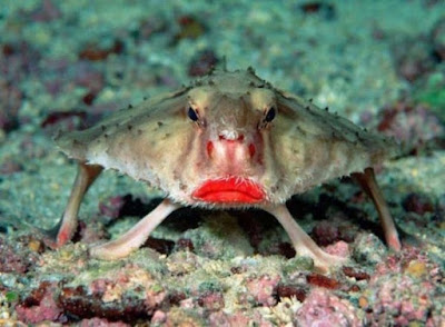 Ikan Kelelawar Bibir Merah - Sekitar Dunia Unik