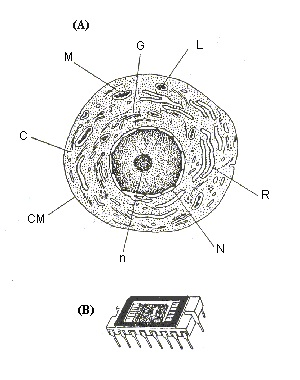Diagram Of A Cell Nucleolus, Diagram, Free Engine Image