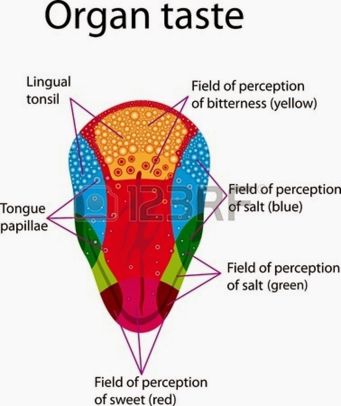 map of tongue taste » Free Interior Design | Mir Detok