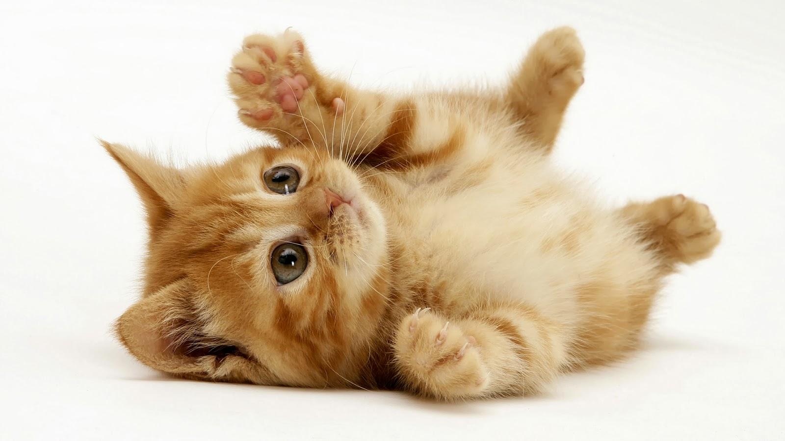 Kisahislam Info Kisah Kucing Kesayangan Nabi S A W