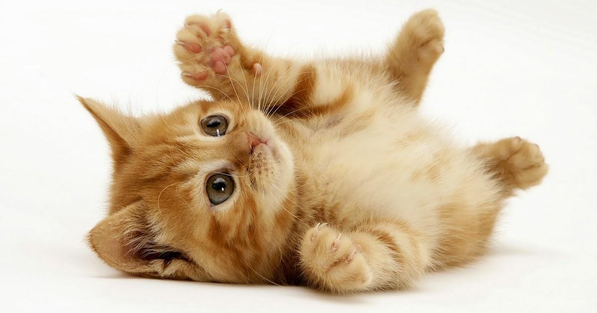 Kisah Kucing Kesayangan Nabi S A W Kisahislam Info