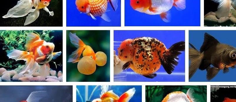 Ini Dia Jenis Ikan Mas Koki yang Umum Dijual
