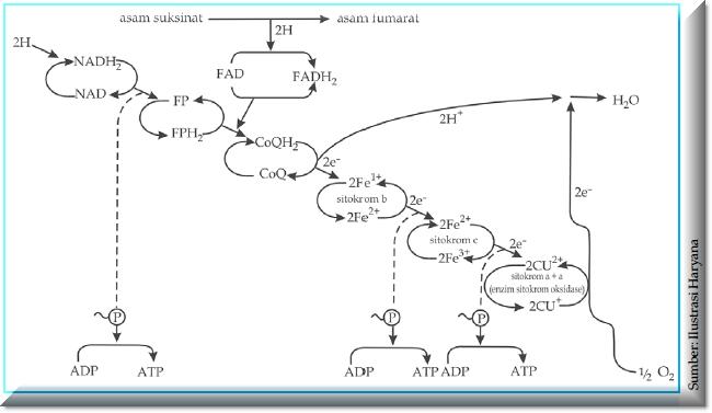 Katabolisme plengdut bagan transformasi energi dalam biologi ccuart Choice Image