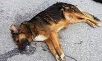 Αμοιβή 5.000€ σε όποιον καταγγείλει ποιος έριξε φόλες στα σκυλιά στην Κόρινθο