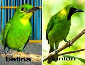 Kumpulan Foto Burung Cucak Terbaik