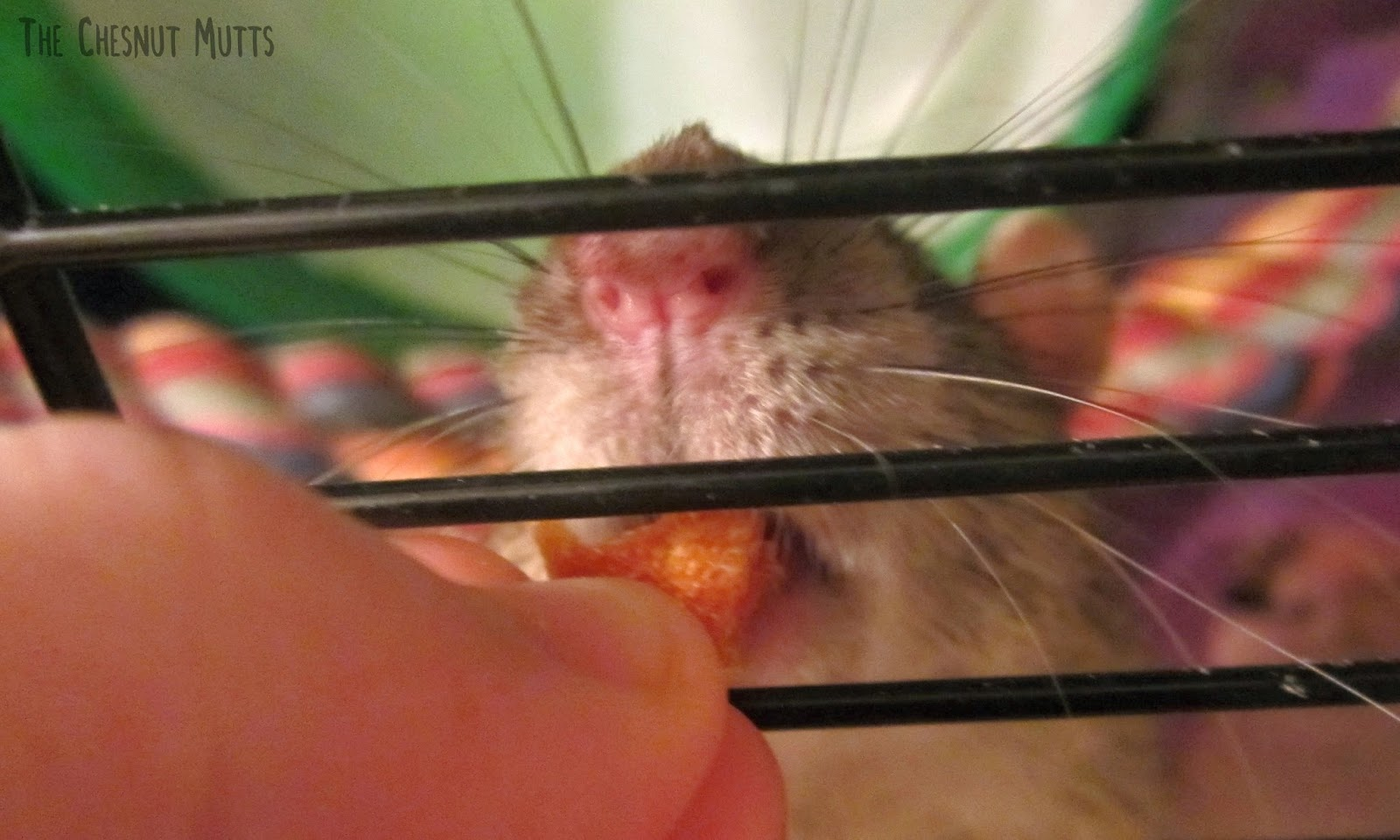Delmar the rat enjoys some jerky
