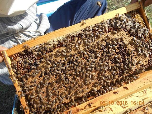Δείτε μελίσσια σε ανθοφορία! Γόνοι γύρες μέλια! Έτσι πηγαίνουν τα μελίσσια το φθινόπωρο... Και μερικές πολύτιμες συμβουλές!