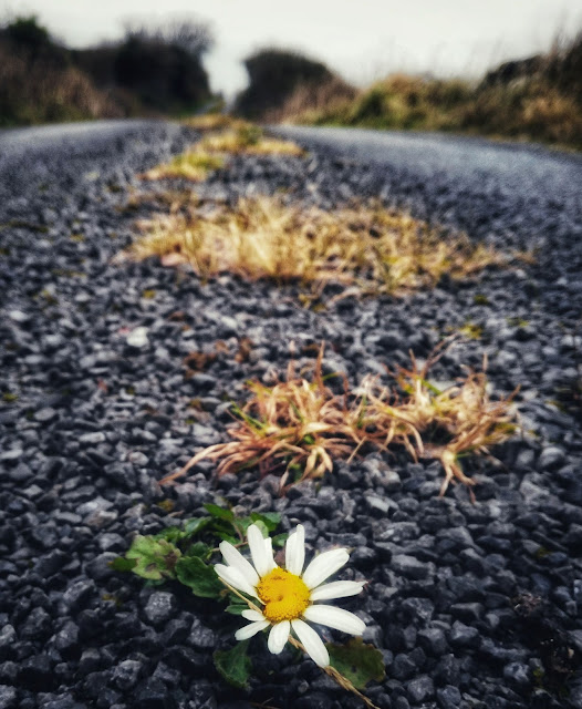 lonely daisy growing in the middle of a small road, Connemara