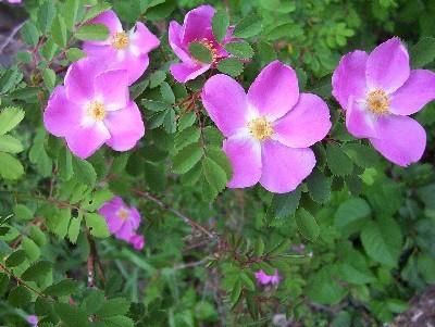 inkspired musings: The North Dakota Wild Prairie Rose