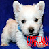 WESTY WESTH HIGHLAND TERRIER